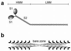 A  Schematic Diagram Of The Myosin Molecule  With Flexible