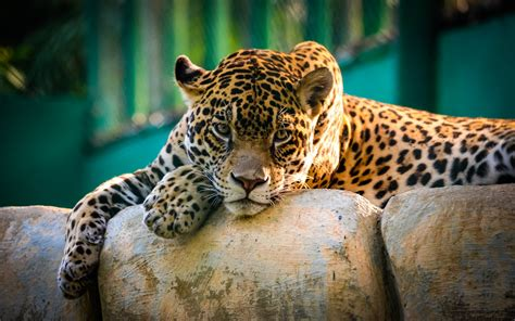 Jaguar Animal Hd Wallpapers - jaguar mexico wallpapers hd wallpapers id 14770