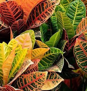 Zimmerpflanze Mit Roten Blättern : pflanzenfamilie ~ Eleganceandgraceweddings.com Haus und Dekorationen