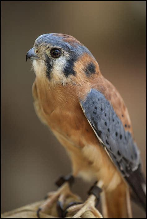raptor bird raptors birds google search raptors for linnea pinterest animal