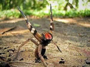 Faire Fuir Les Araignées : l 39 araign e phoneutria ferra araign e banane r gion tropicales d 39 am riques du sud elle fait ~ Melissatoandfro.com Idées de Décoration