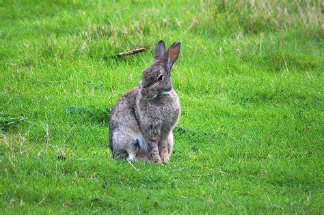 cuisiner le lapin de garenne le lapin de garenne quel est cet