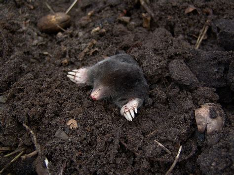 kill moles moles how to identify and get rid of moles in the garden or yard the old farmer s almanac