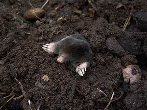Moles How To Identify And Get Rid Of Moles In The Garden