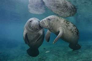 Happy Manatee Monday!! A sweet kiss for two cute...