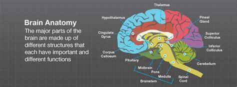 brain anatomy brainlaborg