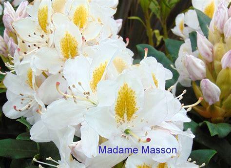 Rhododendron 'Madame Masson' - Mūžzaļais rododendrs
