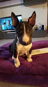 Best 12 Pictures Of Bull Terriers This Year