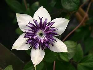 Clematis Viticella Sorten : clematis 39 bicolor 39 39 sieboldii 39 clematis florida ~ Lizthompson.info Haus und Dekorationen