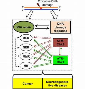 Cellular Responses To Oxidative Dna Damage  Dna Repair