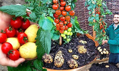 tomtato pflanzen groupon goods