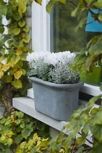 Winterpflanzen Für Balkonkästen : der calocephalus brownii wird dank seines bizarren wuchses und der silbrigen farbe auch ~ Indierocktalk.com Haus und Dekorationen