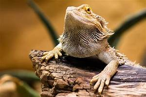 Bearded Dragon Life Span | Raising Bearded Dragons ...