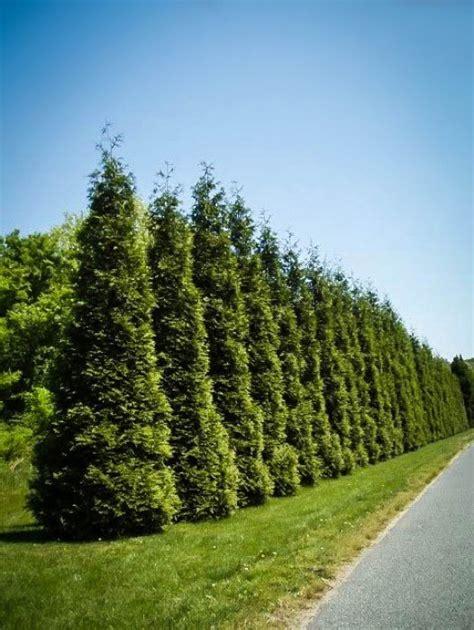 buy privacy trees   tree center