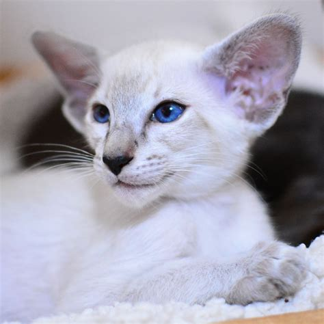 3 Siamese Kittens For Sale  Leicester, Leicestershire