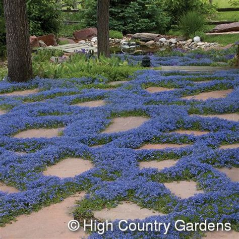fast growing ground cover veronica liwanensis turkish speedwell 2 quot x 18 quot wide cutting propagated plant select ground