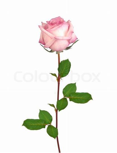 Rose Pink Single Isolated Roses Background Clipart