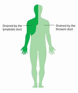 File Diagram Showing The Parts Of The Body The Lymphatic