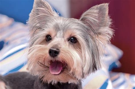Morkies Do They Shed by Small Breeds The Cutest Small Dogs