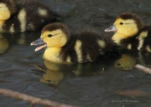 Yellow and Black Duck Duckling