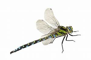 Dragonflies - Pest Control, Facts & Information | pest ...