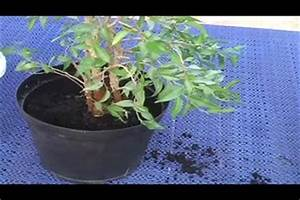Ficus Benjamini Pflege Gelbe Blätter : video ficus benjamini umtopfen ~ Lizthompson.info Haus und Dekorationen