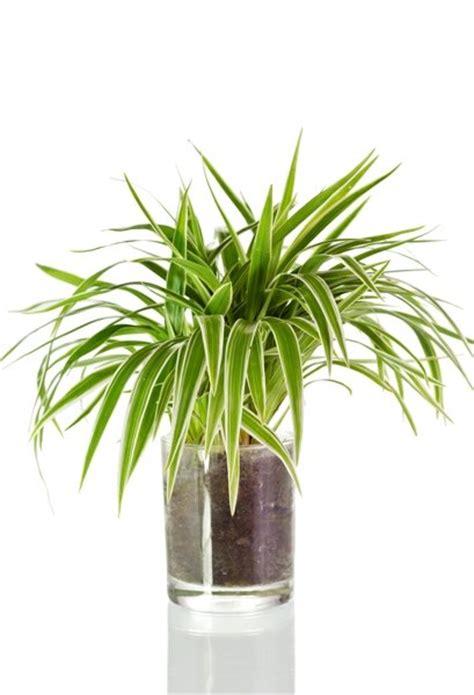 Zimmerpflanzen für dunkle Räume Grünlilie