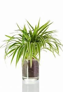 Grünpflanzen Für Dunkle Räume : zimmerpflanzen f r dunkle r ume gr nlilie ~ Michelbontemps.com Haus und Dekorationen