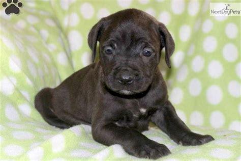 corso puppy shedding corso mastiff puppy for sale near lancaster