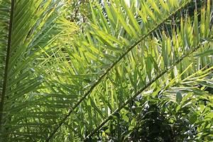 Hanfpalme Braune Blätter : palmenarten bestimmen kretische dattelpalme in vai ~ Lizthompson.info Haus und Dekorationen