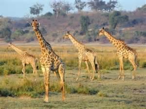 Botswana Wildlife - AFRICA - Pinterest Botswana