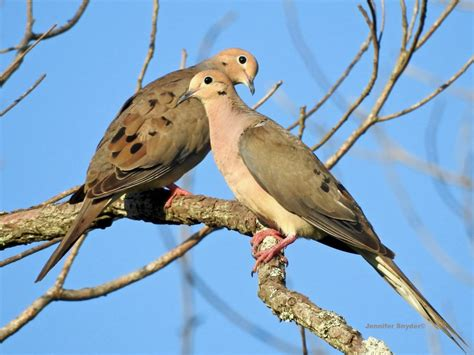 mourning doves feederwatch