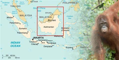 borneo orangutan indonesia