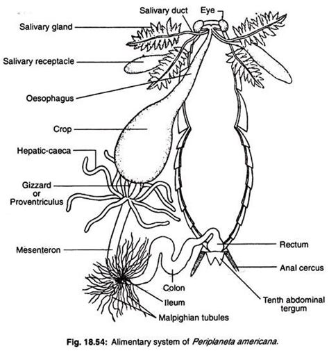 Essay On Pulmonary Circulation by The Pulmonary And Systemic Circuts Essay Primary Change