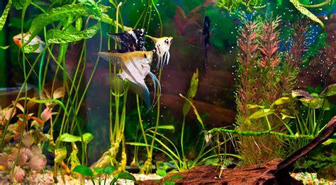 acuarios de agua dulce archivos wikiacuario