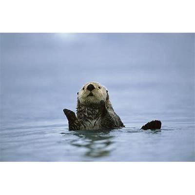 Sea Otter In Prince William Sound Photograph by Suzi Eszterhas