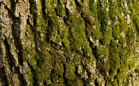 tree barks mossy tree bark wallpaper 713276