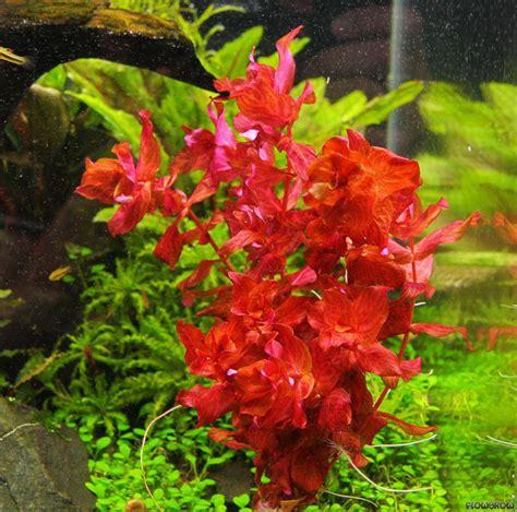 Aquatic Plant Rotala Aquatic Plant