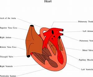 Heart Medical Diagram Clip Art Free Vector In Open Office