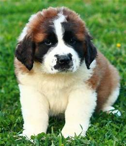 Cute Puppies Breeds Pictures