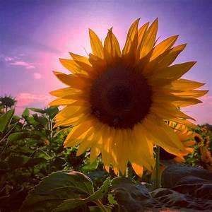 Schöne Instagram Bilder : landschaftsbilder sonnenblume bei sonnenuntergang instagram bilder pinterest ~ Buech-reservation.com Haus und Dekorationen