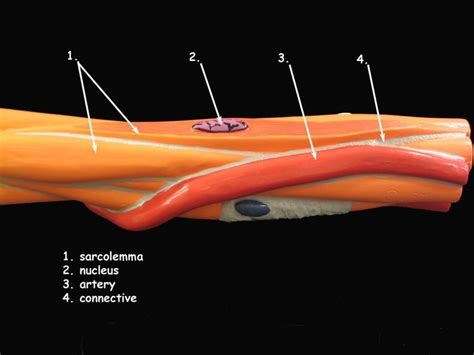 This online material is designed to review the physiological properties of smooth muscle in the human body. Smooth Muscle Cell Model | Cell model, Anatomy and physiology, Physiology