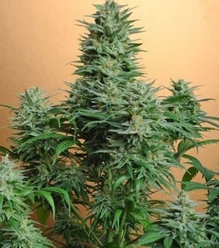 MonterreyCannabis.com Venta de Marihuana THC y CBD a ...
