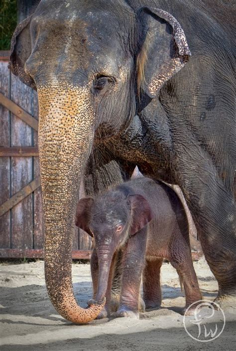 elephant zoo fort worth asian baby calf its female tall elephants help zooborns birth celebrates born second animals parents fwweekly