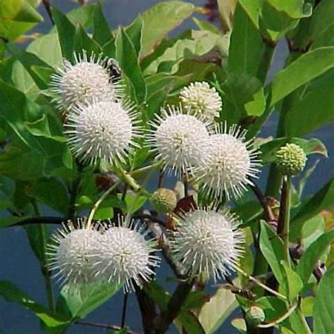 50+ Cephalanthus Occidentalis ( Button Bush ) seeds
