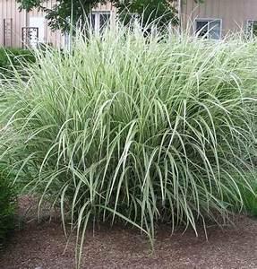 Miscanthus Sinensis Variegatus : miscanthus sinensis 39 variegatus 39 variegated maiden grass 60 80 in height full sun moist ~ Eleganceandgraceweddings.com Haus und Dekorationen