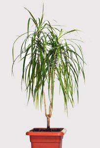 Entretien Plante Verte : dracaena marginata entretien engrais arrosage maladies ~ Medecine-chirurgie-esthetiques.com Avis de Voitures