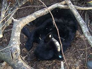 Questions Frequently Asked about Black Bears