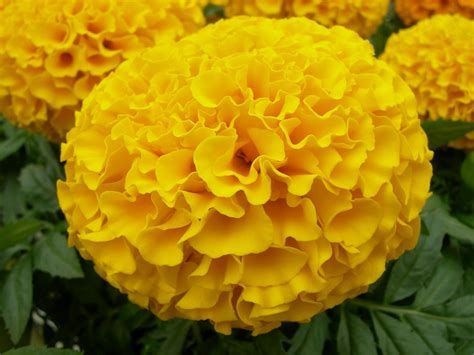 pictures of marigold flowers 7 ways to use marigold flowers diy network blog made remade diy