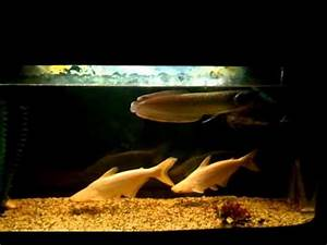 Fish tank. ( AROWAN , OSCAR , ALBINO SHARK & ALBINO ...
